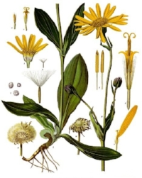 is the perfect remedy for so many of our common bodily woes. Applied topically to the skin in the form of a salve, arnica has been used for medicinal purposes since the 1500s. Arnica contains helenalin, a potent anti-inflammatory, making it a must-have for any natural first aid kit.It reduces pain and disease-causing inflammation when applied to the skin, so it comes in handy for all kinds of bruises, aches, sprains and even arthritis flare-ups. You can even apply it to insect bites to reduce irritation and inflammation.Arnica oil can also be used to relieve areas of stiffness resulting from flying or long-distance driving, so range of motion & circulation improves as well when using this oil. Arnica oil contains several fatty acids, including: linoleic, linolenic, myristic, thymol & palmitic. The antibacterial activity of thymol found in arnica essential oil has been well-established and reported in many scientific studies.