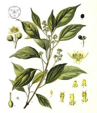 Both the active ingredients in Tiger Balm, in combination impart cooling muscle & joint relief. (*Camphor plant in photo.)