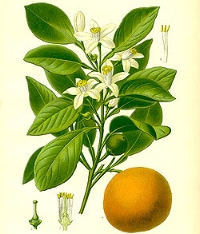 Reduces the feeling of pain in the body.Bergamot oil is also used to reduce pain from headaches and muscle tension.