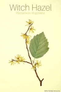 Witch hazel is a plant native to North America &parts of Asia that has been used for centuries for its skin soothing properties. Its powerful antioxidant and astringent benefits are known to help speed healing, prevent signs of aging, stop cellular damage that can lead to skin cancer &eradicate bacteria that lives within the pores of the skin. The bark, twigs, and leaves of the witch hazel plant are used to extract active properties known as tannins &polyphenols which are added either to water or alcohol to produce distilled witch hazel extract or witch hazel water/hydrosol. It's the tannins in witch hazel extract that make it a natural astringent, as they help to remove excess oil from the skin. Witch hazel contains a high level of polyphenols; the same compounds used to create anti-aging supplements that help slow down disease. As it's a natural anti-inflammatory &antioxidant, it's able to battle free radicals to protect against DNA damage.