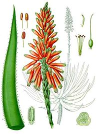 """Ancient Egyptians called aloe, """"the plant of immortality."""" A powerful humectant & moisturizer that contains over 75 different nutrients including vitamins, minerals, enzymes, sugars, anthraquinones or phenolic compounds, lignin, saponins, sterols, amino acids and salicylic acid - all providing benefits to the skin that results in evening skin tone, increasing firmness and healing wounds/scars/burns."""