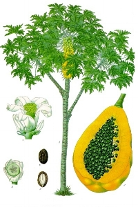 Besides papain, papaya is a rich source of  vitamin C , vitamin A, vitamin E, pantothenic acid, folate, magnesium and potassium. Perfect cure to dark spots and discolouration. Incredible moisturizer with antioxidant properties that help reduce signs of aging. Brightens dull skin & evens skin tone.