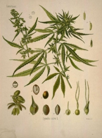 Kompolti  has a Dioecious(hemp is naturally dioecious) genotypic expression and is cultivated in the Continental climate of Europe. Kompolti has an extremely long vegetative cycle of 150 days while producing a gigantic plant at 350 centimeters on average. Kompolti is recommended if you are looking for CBD and fiber. The CBD content comes in between the 2.0 to 3.0 percentile making Kompolti a great strain for CBD.   FUTURA 75  is a monoecious hemp variety. Monoecious hemp varieties are a result of long breeding efforts in France, Poland, Ukraine & Romania - driven by the search of high seed/grain productivity.