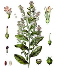 Lobelia is also used in topical ways to alleviate muscle pain and joint lumps triggered by rheumatoid arthritis. It is also used to treat instances of insect bites and bruises. The major ingredient of lobelia, namely lobeline, is said to possess qualities similar to Nicotine, though scientific studies have not corroborated this claim. Despite a lack of scientific proof, lobelia has been used extensively as a smoking cessation product in the market. Nicotine works on specific receptors in the human nervous system to raise heart rate, blood pressure and contract blood vessels. Interestingly, lobelia works in the opposite way. It brings down blood pressure, heart rate, relaxes muscles and dilates the blood vessels. Studies also indicate that it may be effective in treating drug addiction. The herb eases muscles and improves the blood flow in the human body. Thus, it can help alleviate menstrual cramps and muscle cramps. As a matter of fact, in the 19th century, it was used to reduce pelvic stiffness during childbirth.