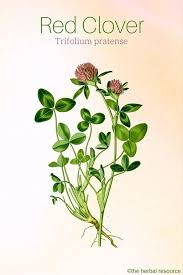 Some of the unique properties of red clover include its ability to reduce inflammation throughout the body, particularly in the cardiovascular system. Studies have linked the use of its tea to a significant reduction in the tension of arteries and blood vessels, therefore reducing blood pressure. This can help to prevent coronary heart disease and a variety of other cardiovascular conditions. High Vitamin C content. If you consume the leaves in the form of tea, then you can get a healthy dose of antioxidants. Antioxidants can neutralize free radicals, which cause degenerative diseases and cell mutation. The overall immune boost of red clover includes preventing infections, both viral and bacterial. The hormonal impacts of red clover are significant, particularly for women. The isoflavones found in red clover mimic estrogen, so for those women who may struggle to maintain estrogen levels, red clover can help to balance their hormonal shifts and prevent mood swings, as well as reduce breast pain. This applies to women undergoing PMS as well as menopause, as both of these times can cause dangerous or unpredictable fluctuations in hormone levels. Red clover is not only useful for women, however, and in terms of cancer prevention, it is extremely important for men. Prostate cancer is one of the most dangerous forms of cancer for men, and some of the compounds found in it can block certain enzymes that could cause prostate growth. Although some forms of prostate enlargement are benign, a reduction in prostate size is always a good thing for long-term male health. If you struggle to maintain healthy cholesterol levels, you significantly increase your chances of heart attacks and strokes as a result of atherosclerosi. Therefore, anything that can lower cholesterol levels is valuable, and research has shown that LDL cholesterol levels can be reduced by adding red clover. Furthermore, coumarins found in red clover have been shown to keep blood flowing smoothly and stimulating healthy circulation, further preventing high blood pressure and cardiovascular distress. If you want to find a quick way to detoxify your body and clear your system of excess toxins and salts, nothing works better than a diuretic. Red clover has been connected to increased urination, thereby helping release excess water, toxins, and even fat from the body.