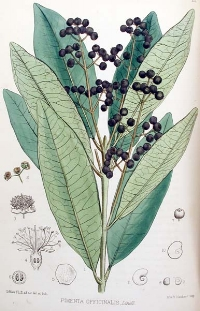 One of the most celebrated aspects of allspice is its ability to lower inflammation and alleviate pain in parts of the body. The active ingredients in the spice have chemical compounds that eliminate inflammation, making it an ideal spice to give you some relief from arthritis, gout, muscle aches, or even hemorrhoids. It also has certain analgesic components that allow for pain reduction in the case of injury or surgical recovery. The calming, rubefacient effects of allspice's organic components make it perfect for soothing the stomach and also facilitating healthy digestion. The eugenol found in allspice can eliminate digestive issues such as diarrhea, nausea, vomiting, and constipation, while also stimulating regularity, which reduces bloating and excess flatulence. The anti-inflammatory aspect of allspice further eases cramps, which can ease the entire process of digestion. Research has shown certain antibacterial and antifungal effects of allspice, particularly in terms of stomach bacteria ( E. coli and Listeria monocytogenes ). In addition to helping the gastrointestinal system function smoothly, it also protects it from outside attack through a natural immune response. Furthermore, when allspice is added to certain foods, it can neutralize the bacteria at that level, before it ever enters your body to begin doing damage. The presence of eugenol, quercetin, tannins, and other chemical compounds makes allspice a very potent antioxidant, as many of those substances are perfect for neutralizing free radicals and eliminating them from the body. Free radicals are the harmful byproducts of cellular metabolism that can cause healthy cells to mutate, often leading to serious diseases – even cancer. The high level of vitamin C and vitamin A present in allspice also contribute to this antioxidant activity. The antimicrobial, antibacterial, and antiseptic aspects of allspice can help to boost your dental health; although gargling with this spice wouldn't be particularly pleasant, it has been connected to healthier dental and gum health by protecting against bacterial pathogens. With significant levels of copper and iron, allspice is ideal for boosting circulation, as these are essential components of red blood cells. Furthermore, the rubefacient aspect of the spice is a stimulant and warms the body. Combined with increased blood flow, this can result in additional energy and the proper oxygenation of extremities in the body. Iron also functions in the creation of certain enzymes that are crucial for overall metabolism. The potassium found in allspice has a positive effect on heart health, as it is a vasodilator and releases much of the tension on the cardiovascular system. This causes an increase in blood flow through the relaxed blood vessels and reduces the strain on the arteries and heart, thereby lowering the chances of developing atherosclerosis, and subsequently, strokes and heart attacks.
