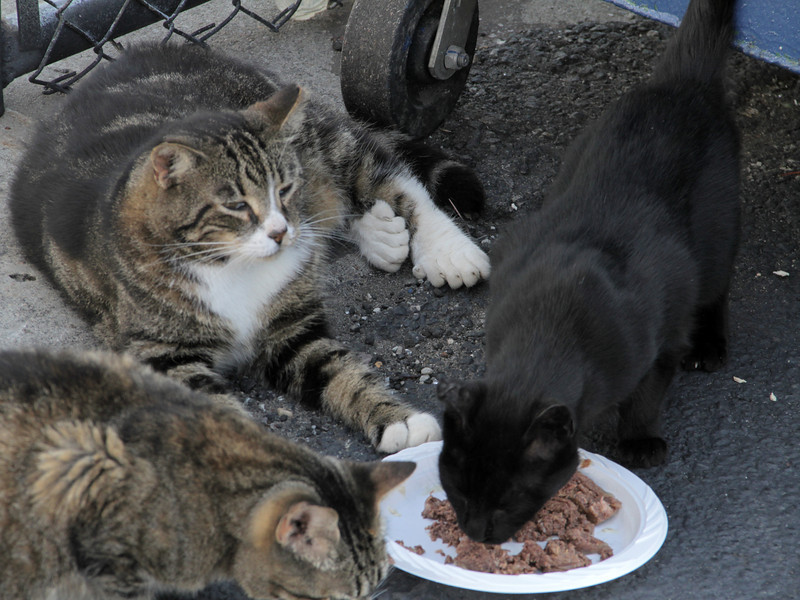 Community cats rely on human caretakers to provide food, water, shelter, and care