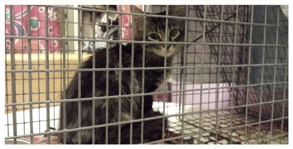 Rally Cat, safely trapped by STLFCO