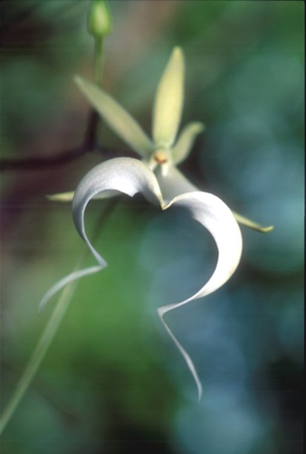 Ghost Orchid ©Connie Bransilver