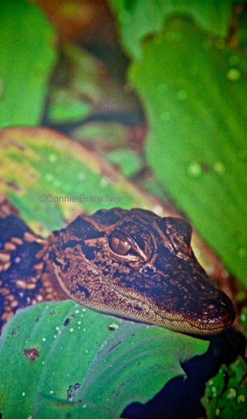 American Alligator (Alligator mississipippiensis)