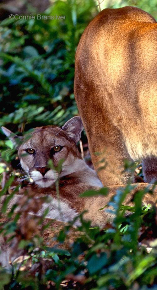 Mangrove Habitat  Florida Panther (Puma concolor)