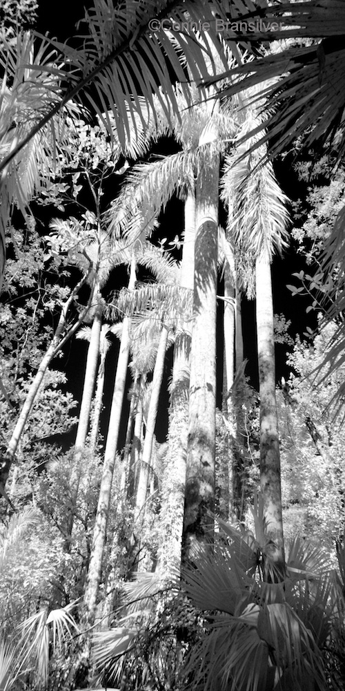 Royal Palm Alley - Infrared (Roystonea oleracea)