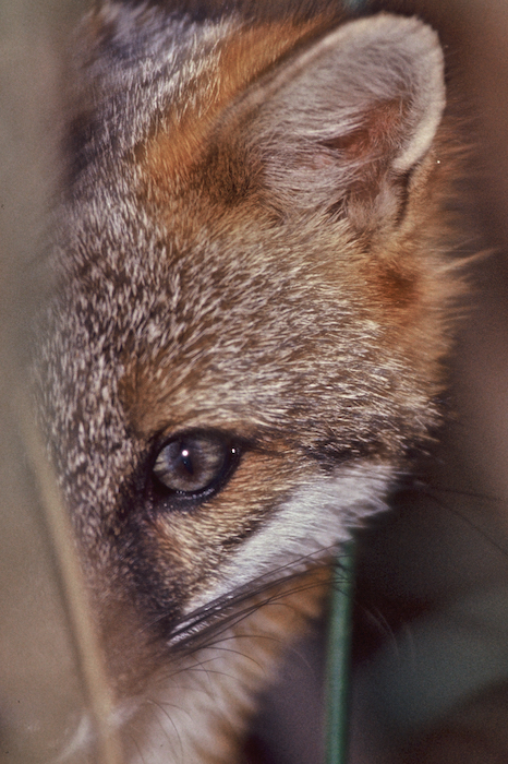 PEEKING FOX 16x20 GlossonAluminum ©ConnieBransilver.jpg