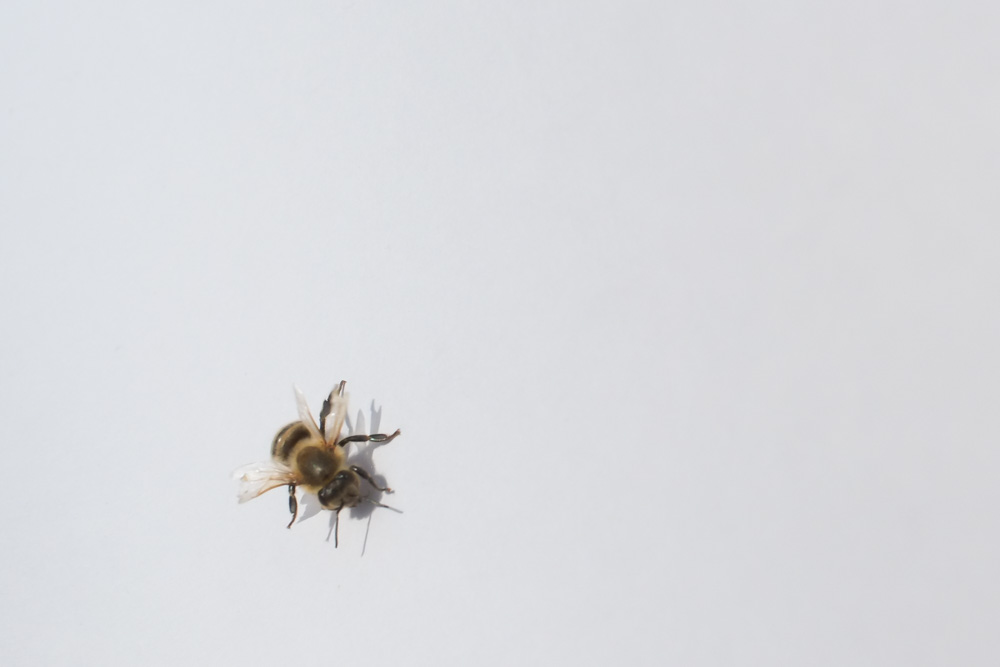Honeybee Honeybee