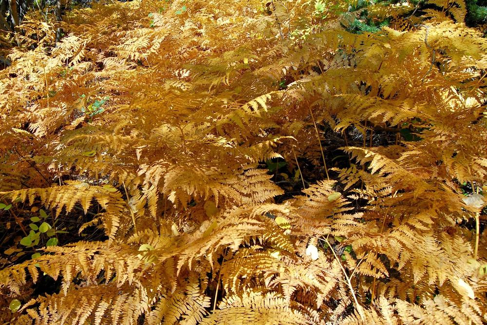 fall ferns.jpg