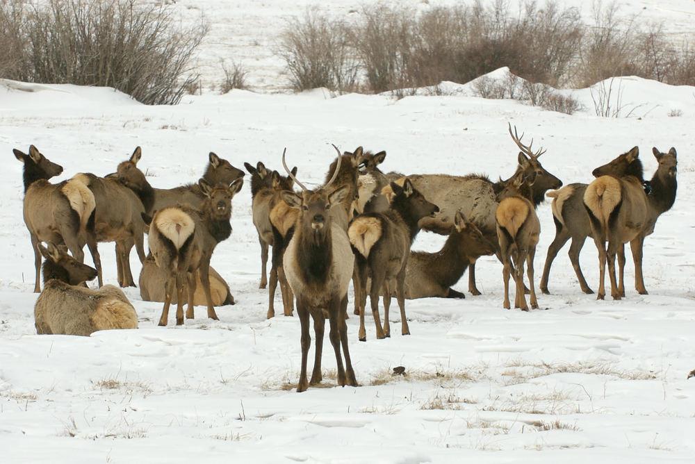 snow elk.jpg