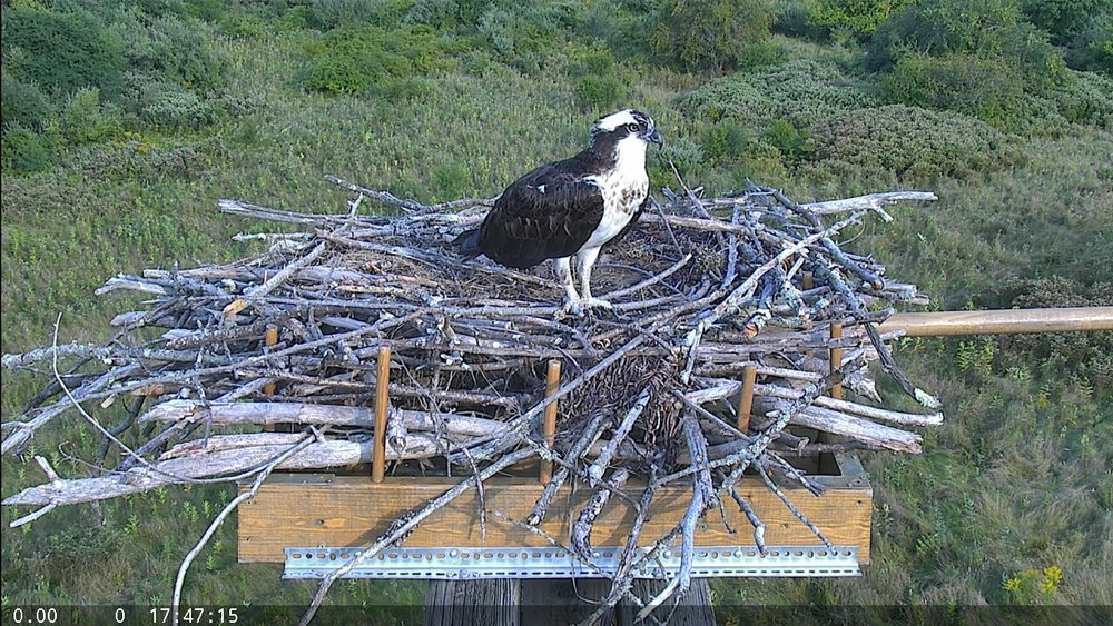 S17 Ellwood Osprey nest and bird.jpg