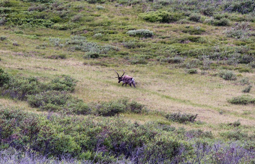Caribou in Denali.
