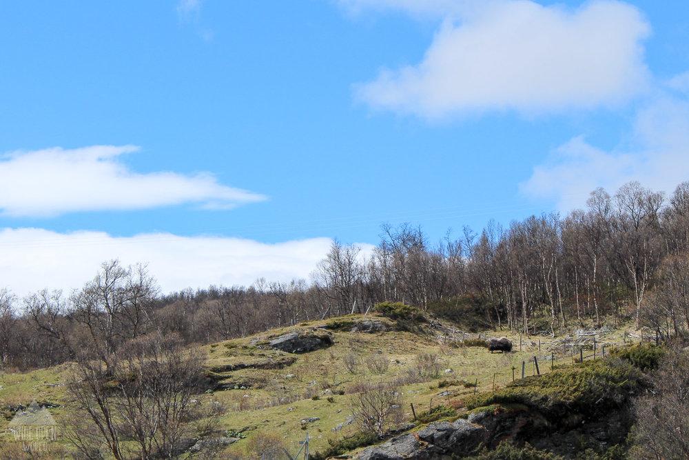 4. Musk Ox in Dovrefjell National park