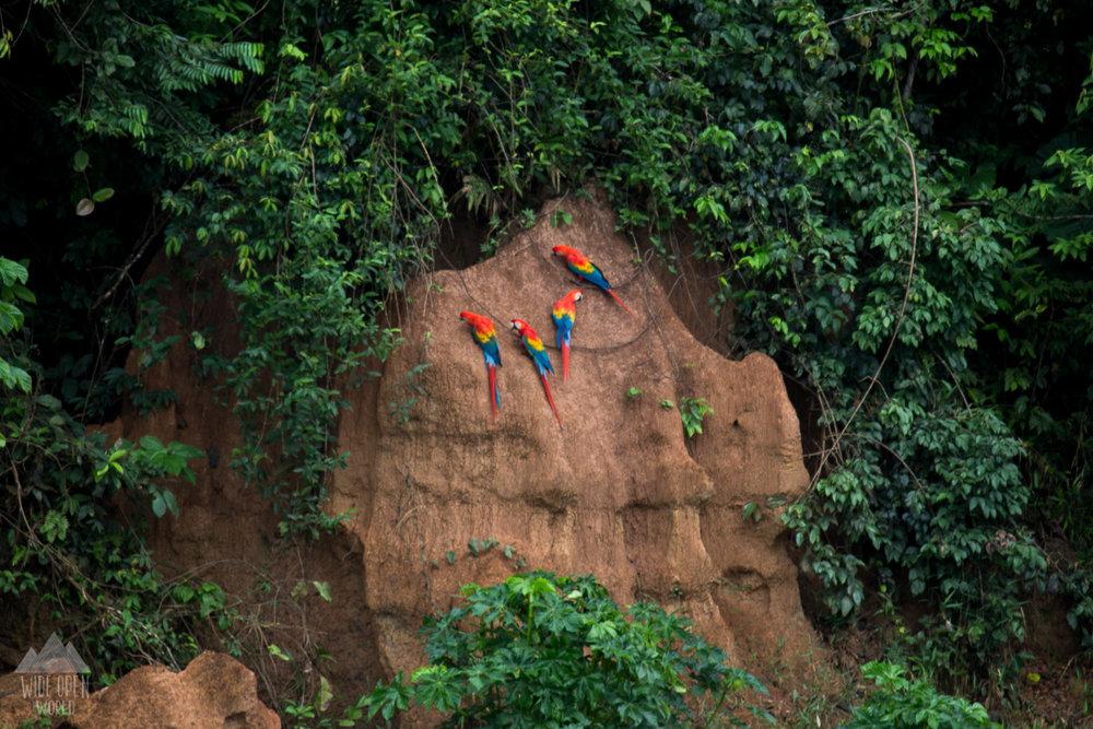 Macaws at the clay lick.