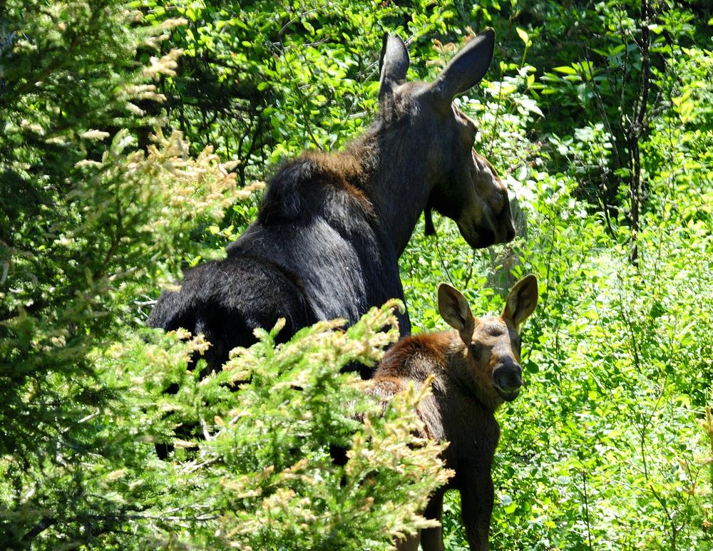 moose 4.jpg