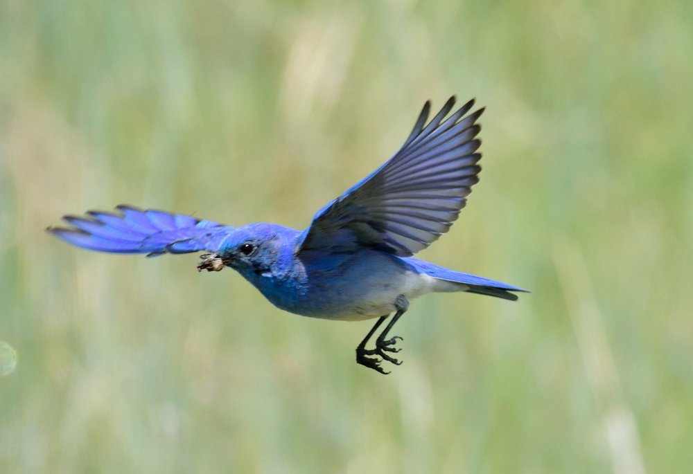Blue bird 1 (2)-email.jpg