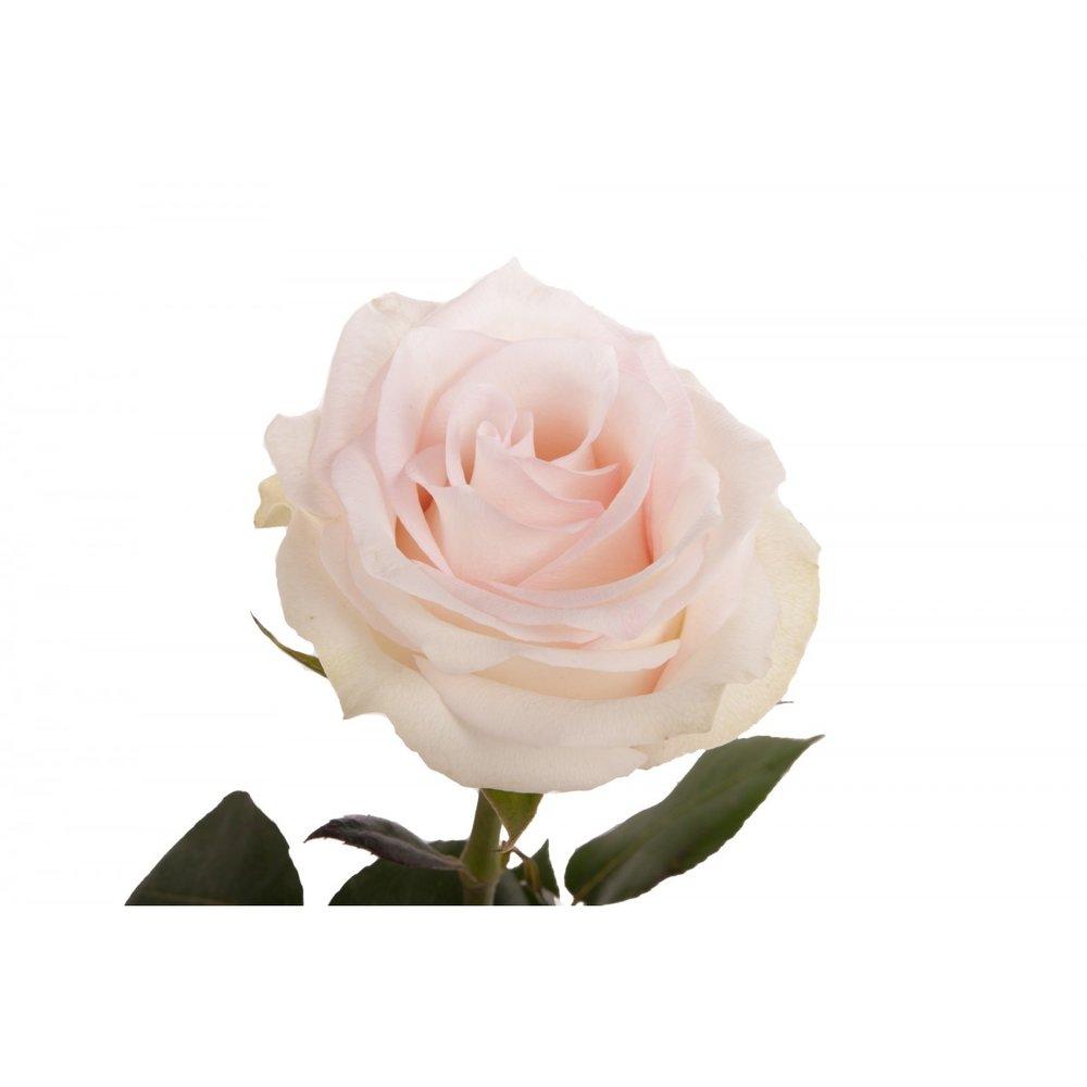 pink-blush-rose-ragazza-1.jpg