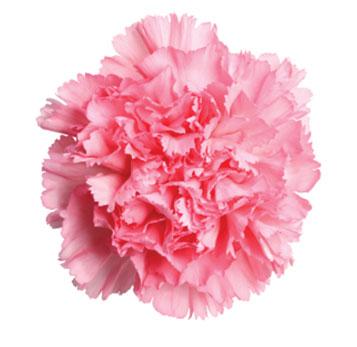 pink-carnation-flower.jpg