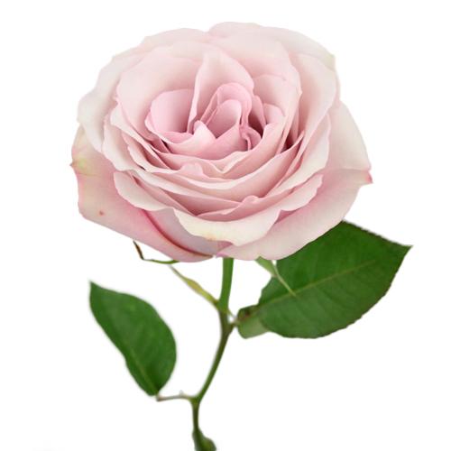 Secret-Garden-Rose-Stem-500_1bb77d78.jpg
