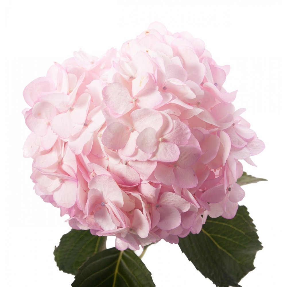 pinkpetitehydrangea_1_1.jpg