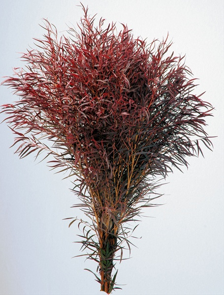 Agonis Red Bunch Cropped1.jpg