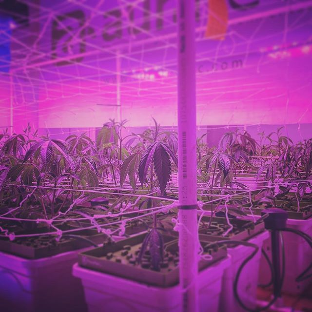 "Day 16 of Veg and we ""darked out into flip"" last night. Jedi Tony is killing it in the Cricket4 Trials. Speacial@love goes out to @auratecinc @blackdogled @cricketdude420 @floraflex @illumitex @jungleboyz @theluckygarden @tdsdirect @cyco_nutrients @mammothmicrobes . Nite nite termites... we'll wake you up in 36 hours.  #mmj #medicalmarijuana #cannabis #consultant #cannabisconsultant #LEGALIZE #california #cultivator #budporn #thecannaagency #grow #cannatography #mjphotography"