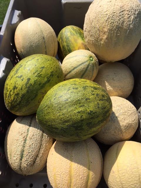 melons Summer 2015.jpg