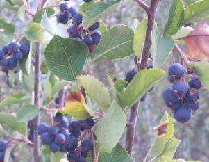 Serviceberrys  More Info