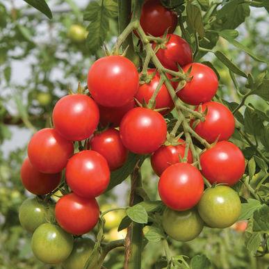 Cherry Tomato - Sakura  Another sweet one! Bright-red, shiny, medium-large cherry tomato.