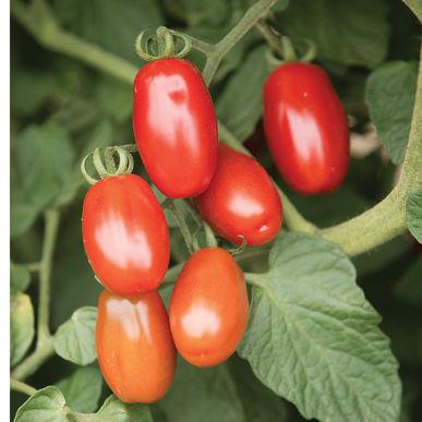 Grape Tomato - Valentine  Deep red high-lycopene grape tomato. Rich flavor.