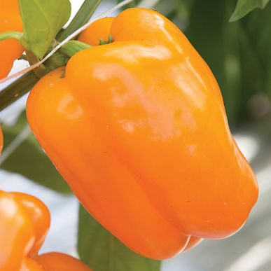 Bell Pepper - Milena  Deep orange medium-to-large. Very good flavor.
