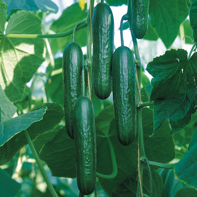 "Cucumber - Socrates  Dark green, thin-skinned, 7-8"" fruits. One of the best!"