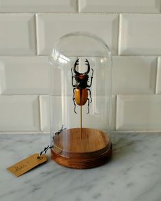 2f5d47d6afba17da42974e0a1d1122f5--taxidermy-insects.jpg