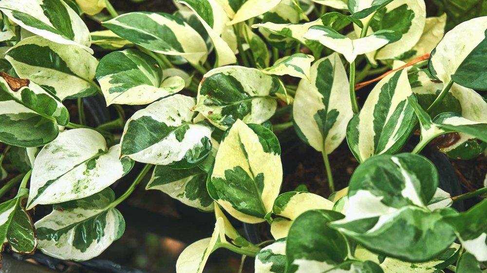 1296x728_Air-Purifying_Plants-3-Golden_Pothos.jpg