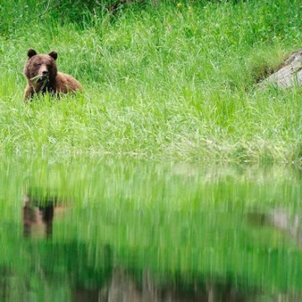 Have you ever been on a Grizzly Bear Discovery Tour? Check it out: http://bit.ly/GrizzlyBearDiscoveryTour #travelnorthernbc #explorebc @tourismpg #UNBCSS
