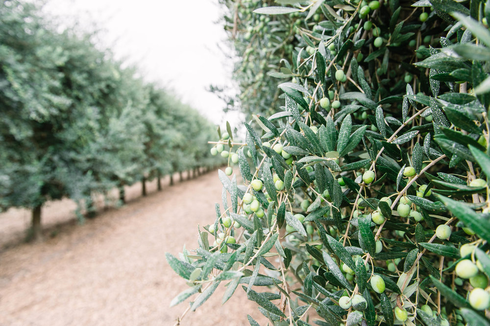 Olive oil grove