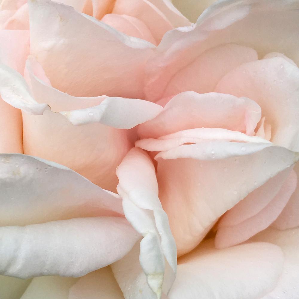 Original Beauty pink.jpg