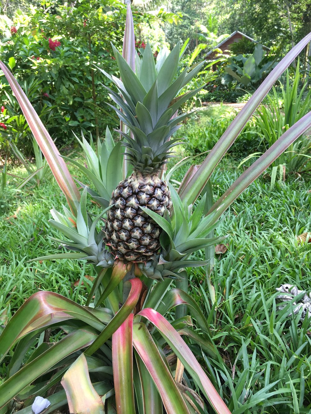 A Pineapple on its Spiky Throne
