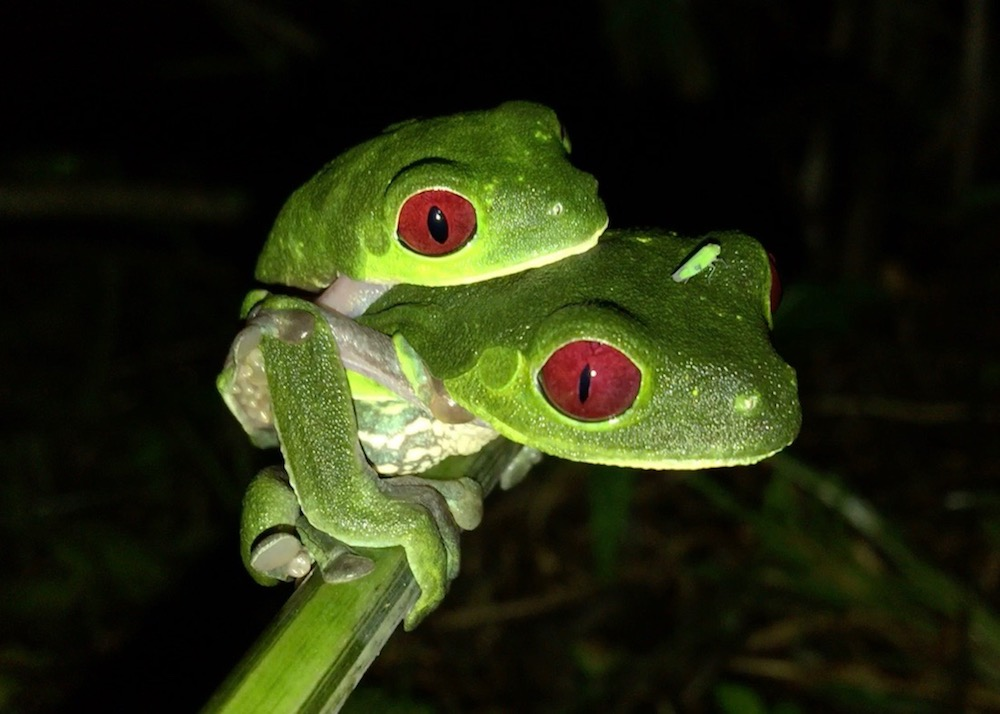 Night Tour - Join us after dinner for a tour of our two wildlife ponds and their surroundings with our resident young biologist. You will discover the nocturnal inhabitants of the retreat, including the emblem of Costa Rica, the red-eyed tree-frog. Make sure to point your search light at eye level and discover an amazing spectacle! This tour lasts about 45 minutes and is complimentary.