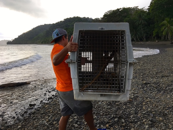 Monkeys confiscated from the pet trade are reintroduced on our beach