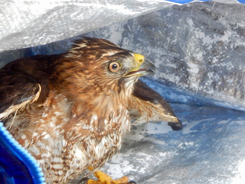 One frightened - but alive - hawk
