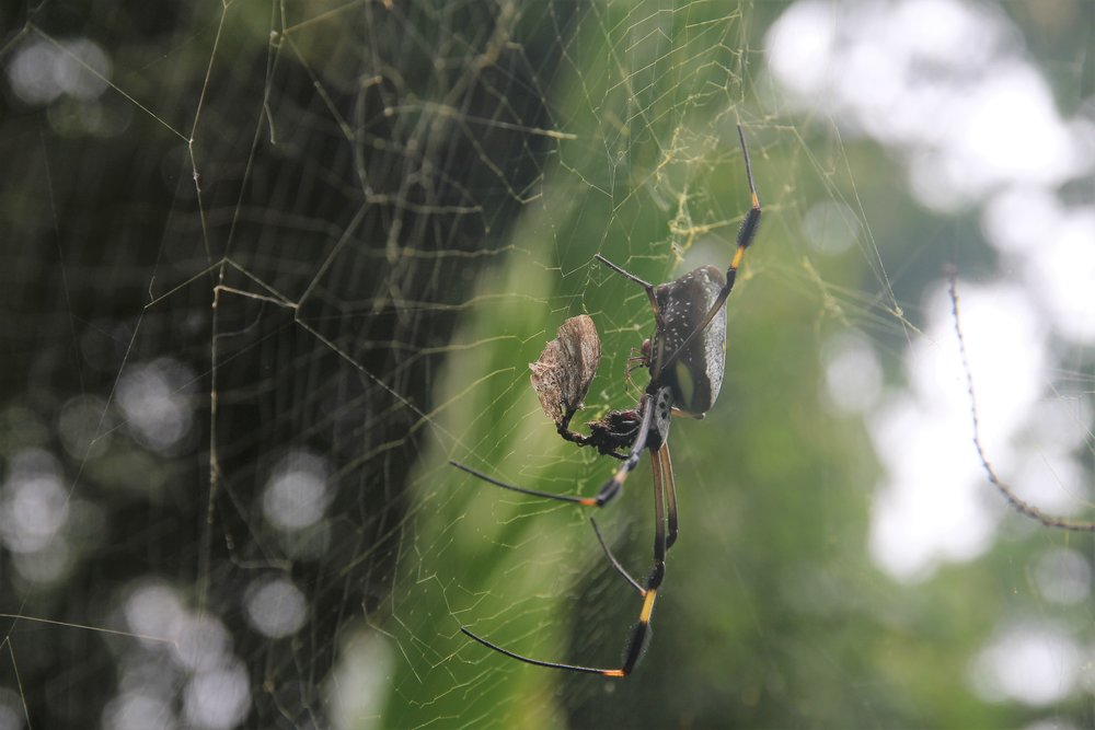 The male golden silk orb-weaver typically weighs in at just 1/50th the mass of the female and can only mate with her when she is feeding and thus sufficiently distracted!