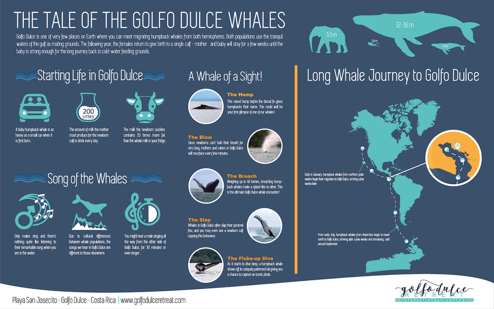 The Tale of the Golfo Dulce Whales - Golfo Dulce is one of the very few places on Earth where you can meet migrating humpback whales from both hemispheres. Both populations use the tranquil waters of the gulf as mating grounds. The following year, the females return to give birth to a single calf - mother and baby will stay for a few weeks until the baby is strong enough for the long journey back to cold-water feeding grounds (click for more info).