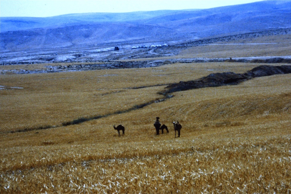 camels-negev-bedouin-1990.jpg